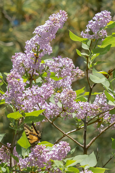 The flowers on our Lilac bushes attract bees, butterflies, dragonflies, and other pollinators.  They also give off a very fragrant scent when we cut a few of them and put them in a vase on our table.