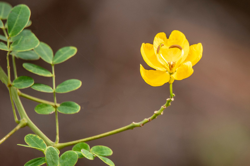 This small yellow flower was on a Golden Rain Tree near the home we are renting.<br /> <br /> UPDATE: This flower is probably Easter cassia (Senna pendula).