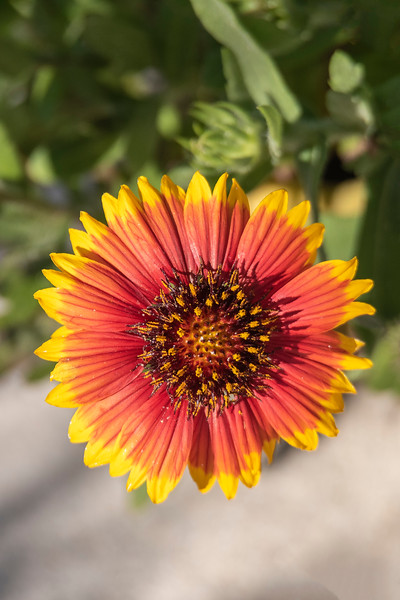 While we are in Florida, I enjoy photographing some of the flowers that are blooming at this time of the year.  This Blanket Flower was growing on the sand dunes along the St. George Island beach.  In Minnesota we also get a variety of Blanket Flower that grows during the summer.