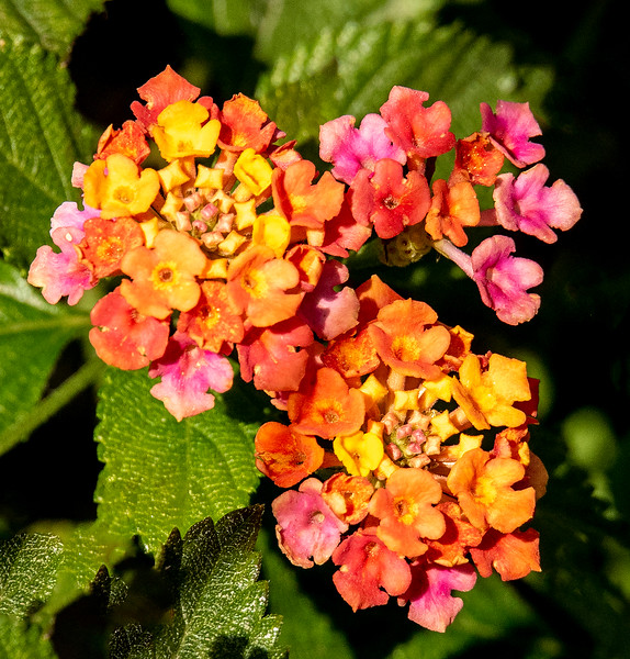 Lantana plants are known for their brightly colored clusters of small flowers.  These plants can be a problem when they form a dense thicket and crowd out native species.  This photo was taken at Alligator Point.