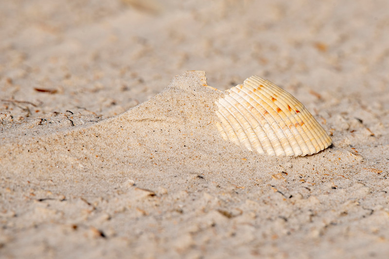 There are many large shells on the beach.  The side of the shell with sand piled up next to it indicates from which direction the wind has been blowing.