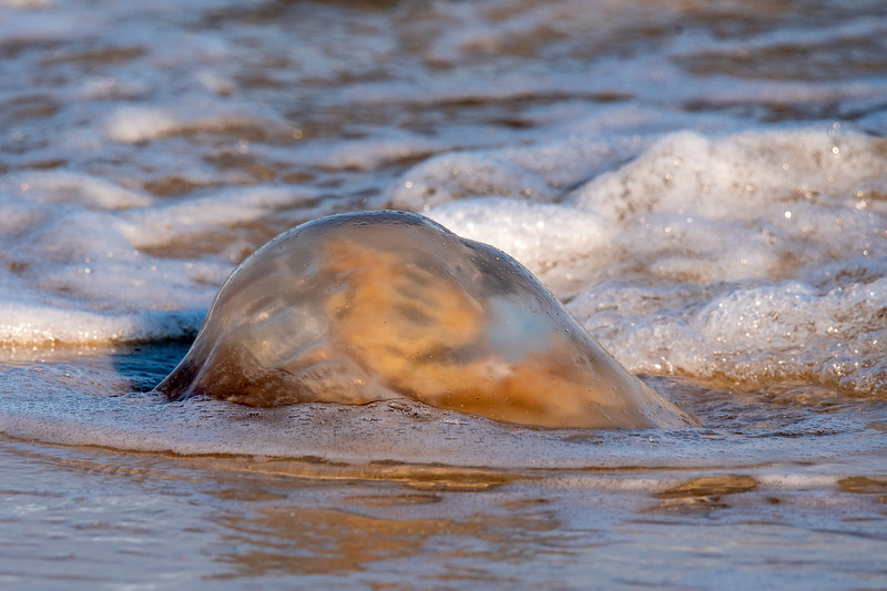 This is one of the jellyfish that occasionally wash up on the beach.