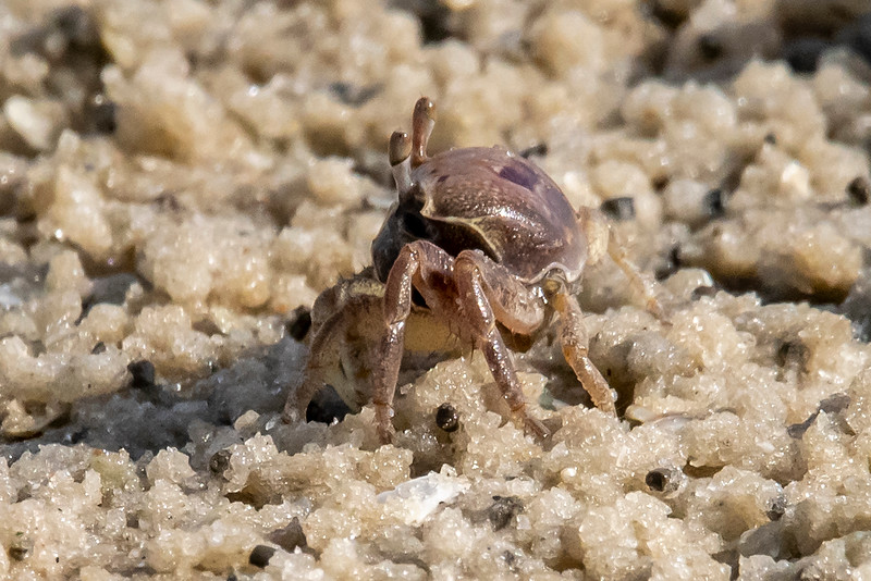Here is a close-up of one of the Ghost Crabs.