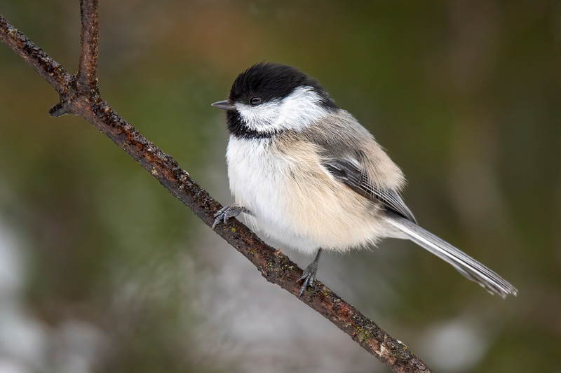 """During winter, we have a limited number of bird species that stay here.  Black-capped Chickadees are always a welcome sight because they are so cheerful and perky.  One of our well-known Minnesota bird authors even suggested that we should change our state bird from the Common Loon to the Chickadee because the Loon is only a """"fair weather"""" visitor while the Chickadee sticks with us all year round.  That's an interesting thought but it didn't happen."""
