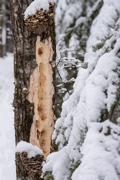 I discovered a dead tree that had likely been worked over by a Pileated Woodpecker looking for insects to eat.  Those long, deep holes are typically made by a Pileated Woodpecker.
