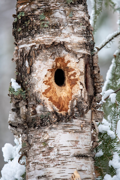 I was excited to find this recently excavated nest cavity in a living birch tree.  The hole is small, 2 inches high, 1¼ inches wide, and 5 inches deep, so it was likely made by a small bird.  I set up my trail camera to focus on this hole so I can find out which bird is making this its home.