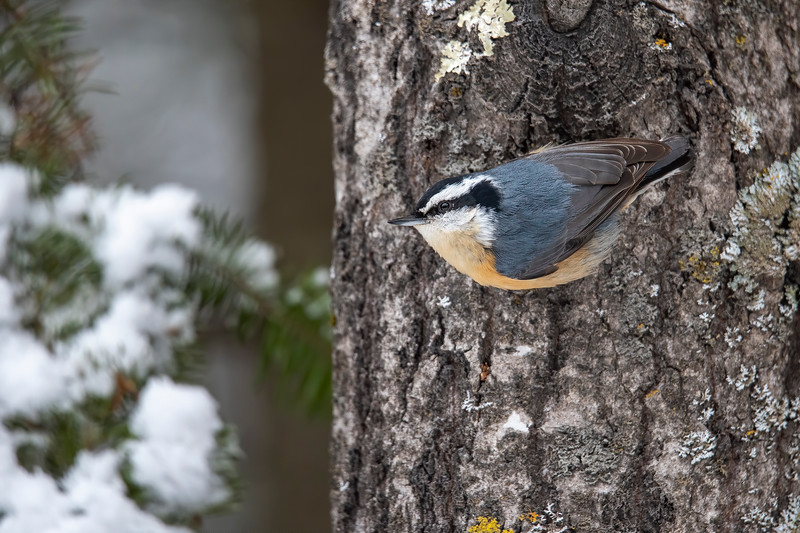 This Red-breasted Nuthatch was clinging to the side of a tree.  Their strong feet allow them to walk right down a tree looking for insects hidden in the cracks of the bark.