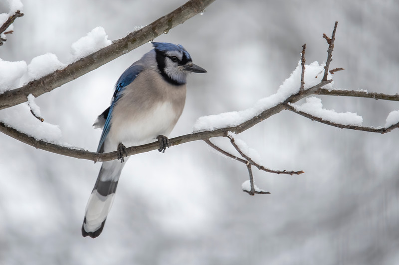 Blue Jays are another year-round resident.  We sometimes have as many as eight of them at our feeders.  They are noisy but they provide us with a splash of color in the winter.