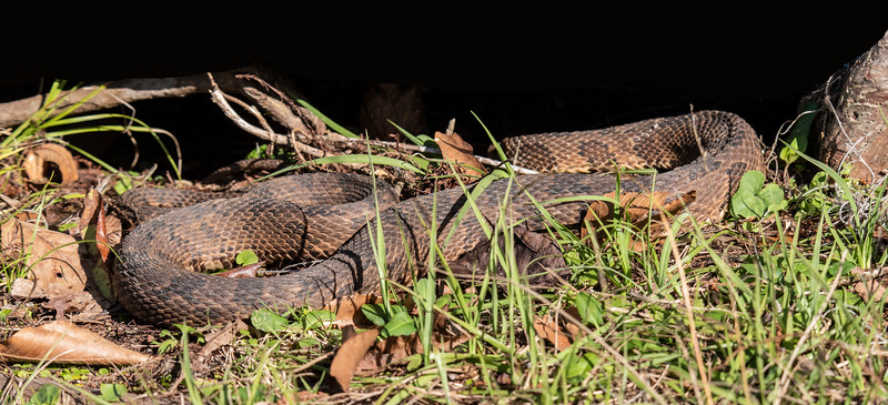 I made an earlier birding visit to Wakulla this winter with my friend John Murphy.  We saw this snake sunning itself beside one of the walkways.  A ranger told us it was a Brown-banded Water Snake (non-poisonous).