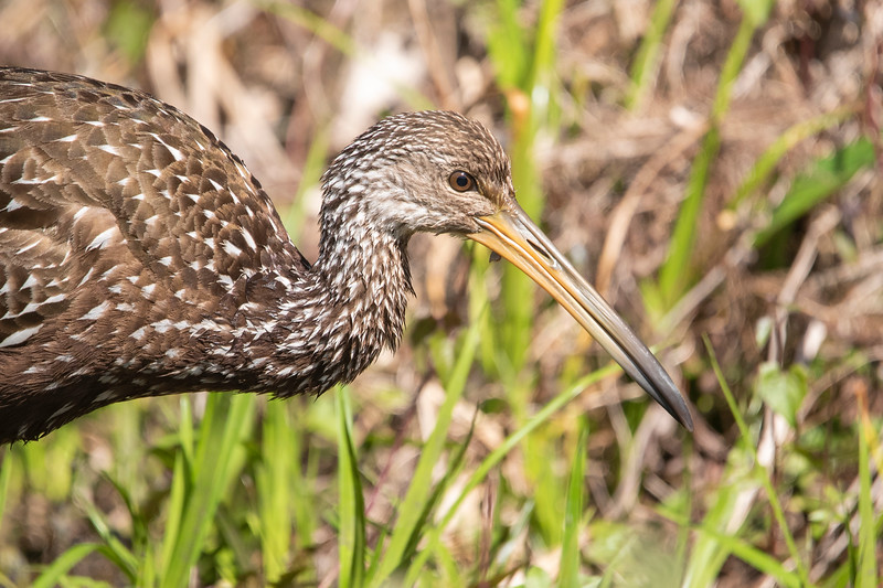 Limpkins used to easily be seen at Wakulla but for the last several years they have been absent from the park.  This year one or two of them showed up again and I hope they will continue to reside there.  This is a large bird, 26 inches tall.