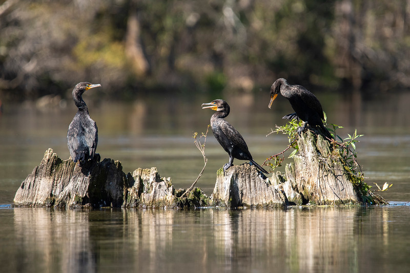 I thought this group of three Double-crested Cormorants made an interesting arrangement.