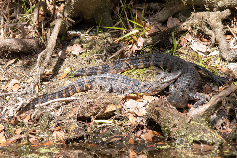 We also saw a group of young alligators.  Our boat guide told us that the yellow stripes on their tails indicated that these were young gators.  Those stripes gradually disappear as the alligator gets older.