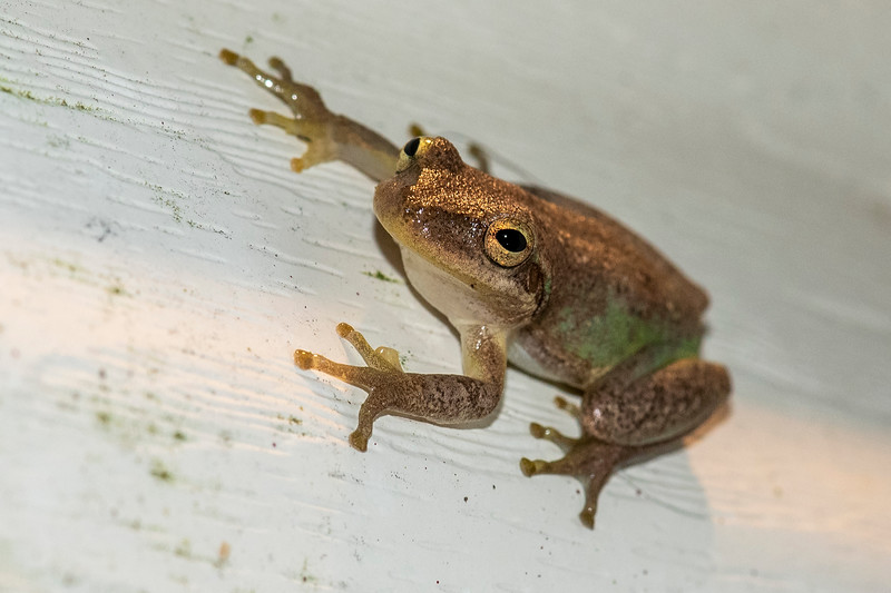 This is also a Squirrel Tree Frog but as you can see, they have the ability to change their skin color from green to brown.