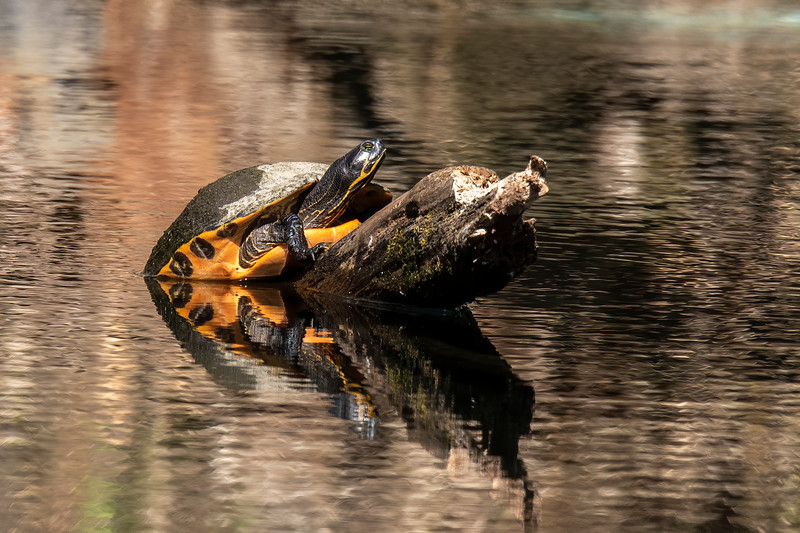 The colorful underside of a Suwannee Cooter can be seen in this photo taken at Wakulla Springs State Park.