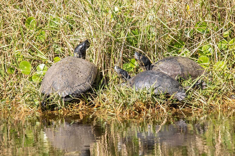 One of the turtle species we saw in Florida was the Suwannee Cooter.  These cooters were basking in the sun at a small pond in Apalachicola, Florida.