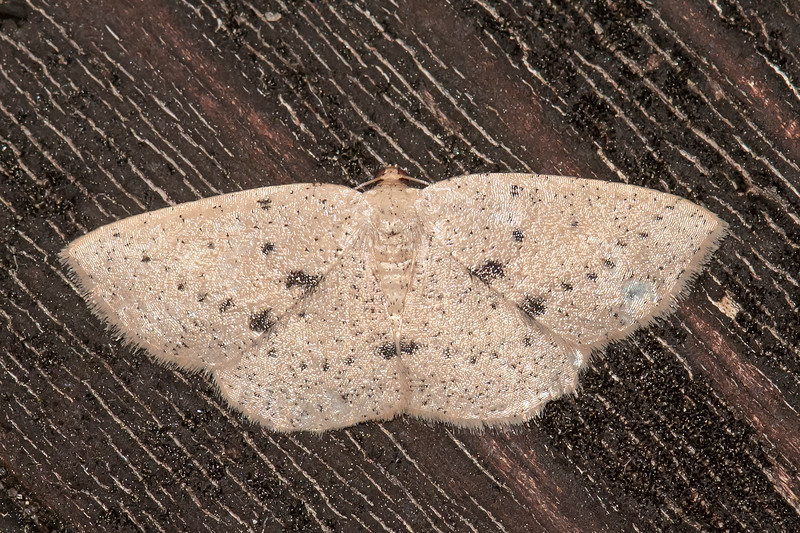 Here's another moth identified by someone at BugGuide.net.  It apparently doesn't have a common name; it's described only by its Latin name of Episemasia solitaria.  I couldn't find any reference to its size, but I did discover that its caterpillar eats American Holly leaves.