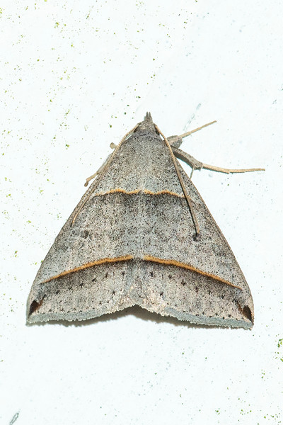 This Black-tipped Ptichodis moth is reported to be common in the south.  It has a wingspan of 1 to 1½ inches (28 to 36 mm).
