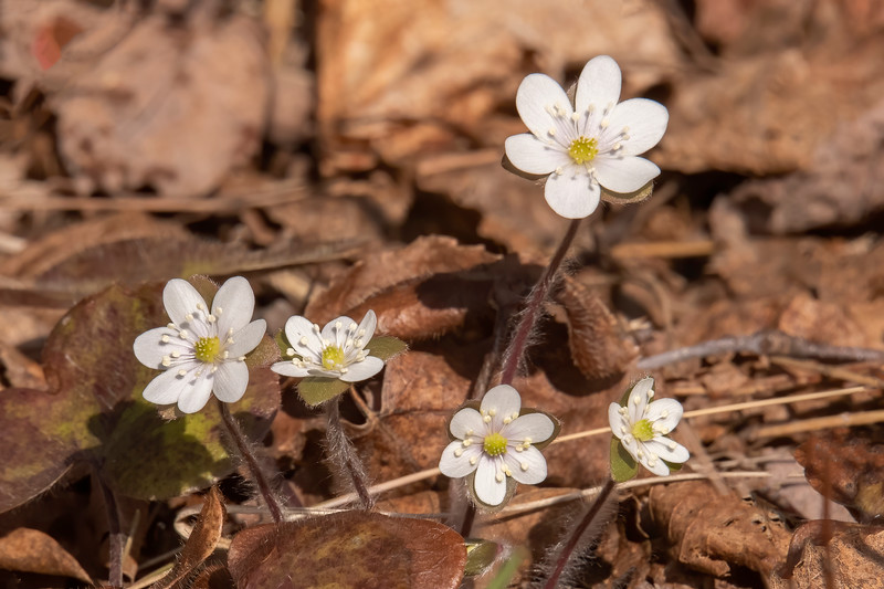 """Another early bloomer is the Round-lobed Hepatica.  It's one of the flowers that are referred to as """"spring ephemerals"""" because the flowers last only a few days or, in some cases, only one day."""