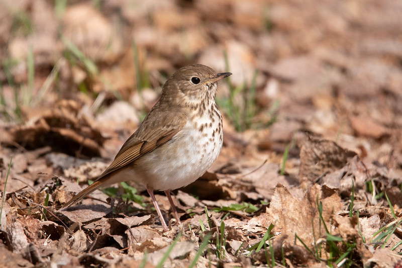 Spring bird migration is in full swing right now and one of the early arrivals was this Hermit Thrush.  There are 3 or 4 thrushes that have a similar appearance and can be hard to tell apart.  But the reddish tail on this bird easily identifies it as a Hermit Thrush.  New birds are arriving daily so you can be sure I will have more bird photos for you!