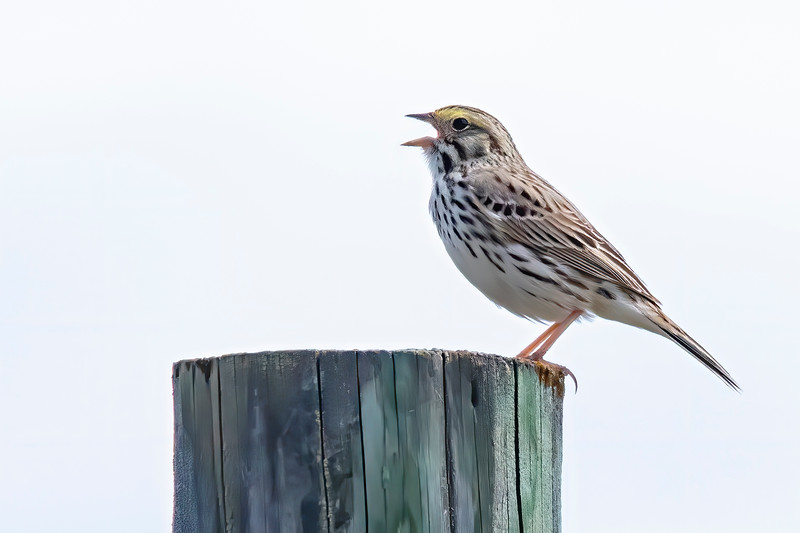 After we left the park, we drove farther north and saw this singing Savannah Sparrow on a rural road.