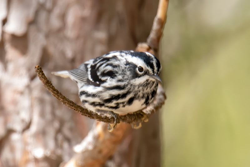Warblers are migrating north to their nesting grounds and one of them seen at the park was this Black and White Warbler.
