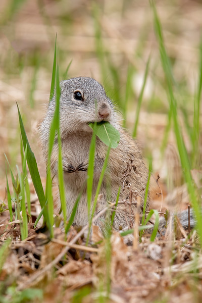 "Here's a cute photo of a Ground Squirrel eating a leaf.  They also feed on insects, mice and other small mammals, eggs, and baby birds.  Seeing these Ground Squirrels reminded us of the time we transported four of them from St. Paul to an area near Grand Rapids for the Wildlife Rehabilitation Center.  Here's a link to those photos.  <a href=""https://www.earlorfphotos.com/Pictures-of-the-Week/2018-Pictures-of-the-Week/Sept-2-2018-Franklins-Ground-Squirrels/"">https://www.earlorfphotos.com/Pictures-of-the-Week/2018-Pictures-of-the-Week/Sept-2-2018-Franklins-Ground-Squirrels/</a>"