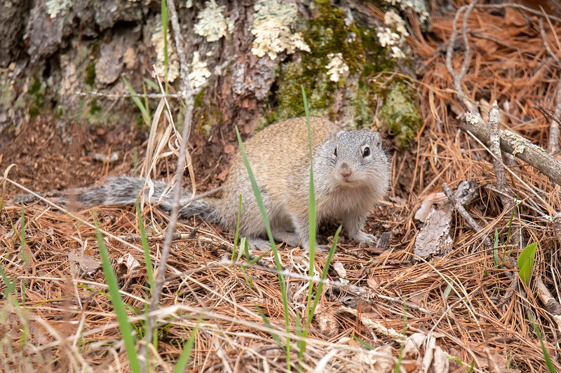We had forgotten that Scenic State Park has a healthy population of Franklin's Ground Squirrels.  They are larger than Red Squirrels and smaller than Gray Squirrels.  The unique combination of brown and gray fur plus the bold white eye ring are good identifying features for this animal.