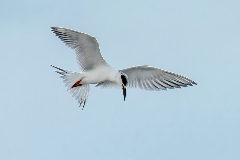 I see Forster's Terns every day when we are down in Florida during January and February.  Here's a photo of one that I took this year.  Notice how their winter plumage differs from their breeding plumage.  In the previous photo, the head is covered with a black cap and half the beak is orange.