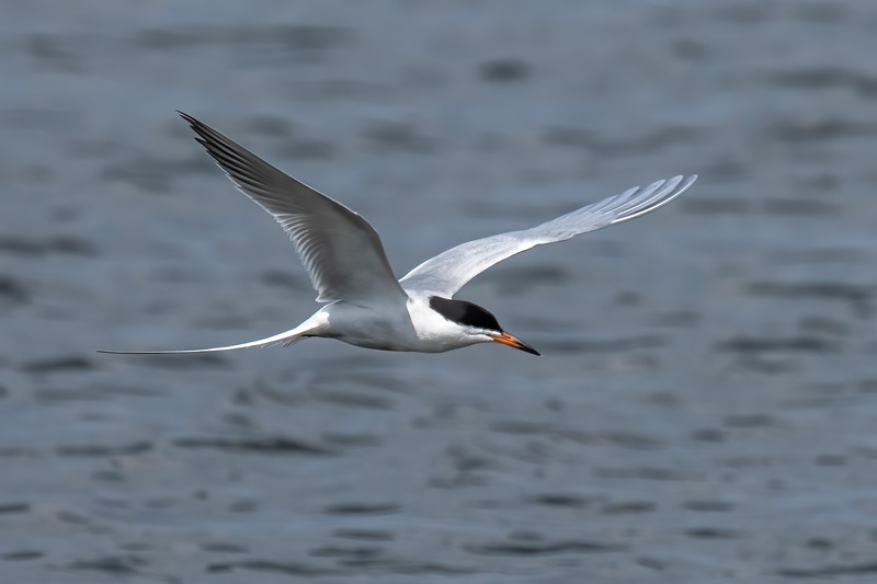 We were back in the Twin Cities for a couple of days this week.  With spring migration in full swing, I went looking for some birds and found 12 Forster's Terns at the south end of Lake Vadnais in Shoreview.  It was nice to see them in full breeding plumage.  They don't nest here so they are just passing through.