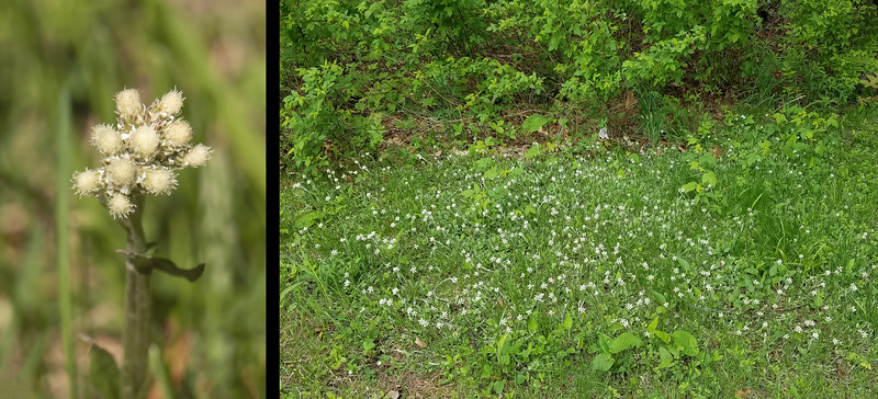 The photo on the left shows an individual stalk of Pussytoes flowers.  It does kind of look like a cat's foot.  They can be up to one foot tall and have velvety leaves that grow low to the ground.  We have a patch of them growing in our yard as shown in the photo on the right.
