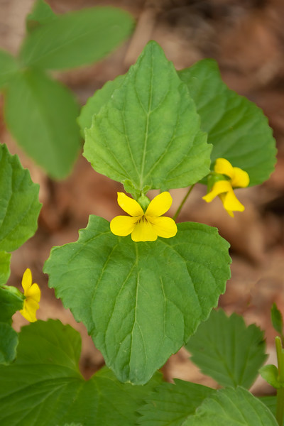 We did find this one in our plant identification books.  One book calls it Downy Yellow Violet, and the other book just calls it Yellow Violet.