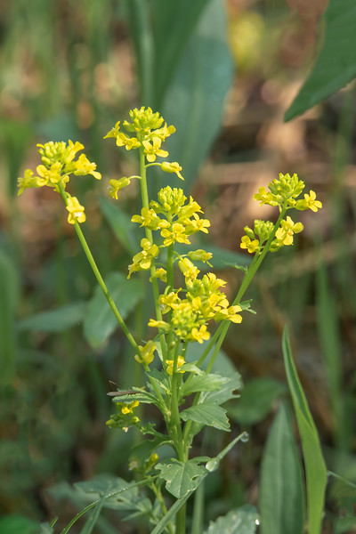 Winter Cress was the first flower to bloom this year in our wildflower garden.  It is also called Yellow Rocket Plant and is in the mustard family.  A group of flowers grows at the top of a one to two-foot stalk.  I also recorded seeing it in 2017 but not in the last two years.  Seems odd that it would disappear and then suddenly reappear again this year.