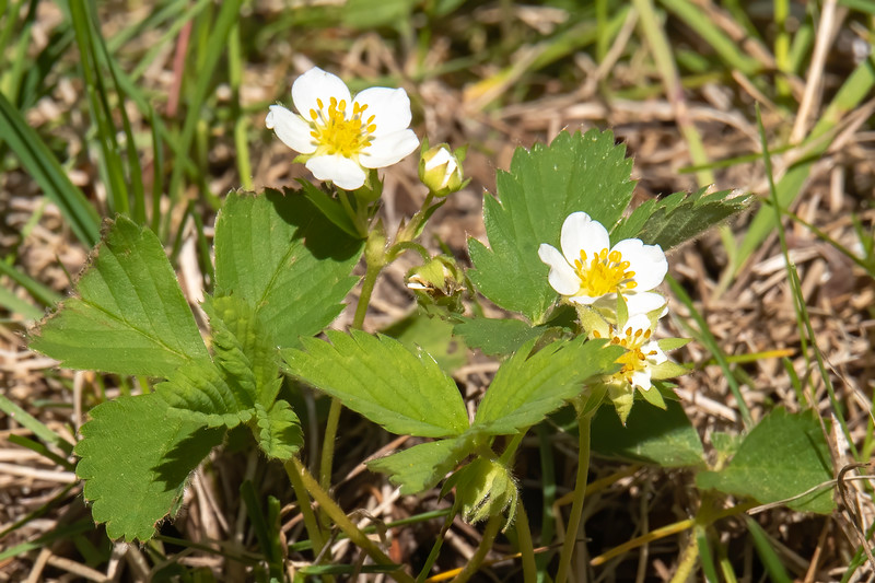 Wild Strawberries are low growing plants that we find scattered around our yard.  They do produce a great tasting small berry, but the birds and other critters seem to get them before we can.