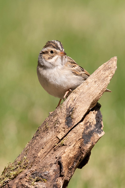 This Clay-colored Sparrow made a brief appearance in our yard in mid-May.  Most of Minnesota is in its breeding range.  However, our yard was probably not chosen by this bird for its nesting site.  For that, it likes a more open area with a few bushes.