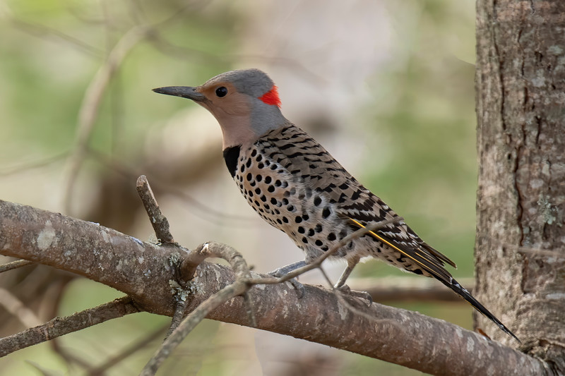 "Here are some more photos I took this spring and summer but haven't used yet for Pictures of the Week.  All of them were taken at our northern Minnesota home. <br /> <br /> This is a Northern Flicker.  I can tell it's a female because there is no black ""moustache"" that would be present on a male.  Notice the thin line of yellow along the edge of its wing.  The Flickers we see in the Midwest have a yellow wash on the underside of their wings.  Sometimes people call them Yellow-shafted Flickers.  Western birds have a red wash on the underside of their wings and, appropriately, are sometimes called Red-shafted Flickers."