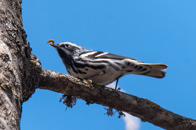 This Black and White Warbler was migrating through in mid-May and found a nice juicy worm on one of our trees.
