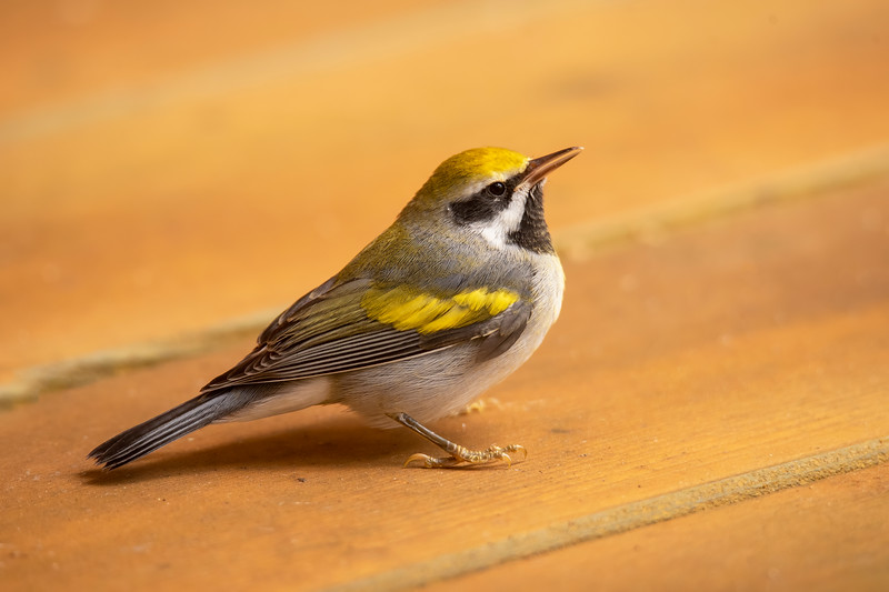 After an unfortunate impact with one of our windows, this Golden-winged Warbler rested on our deck while it recuperated.  After about 10 minutes, it flew off, so we hope it was not injured.