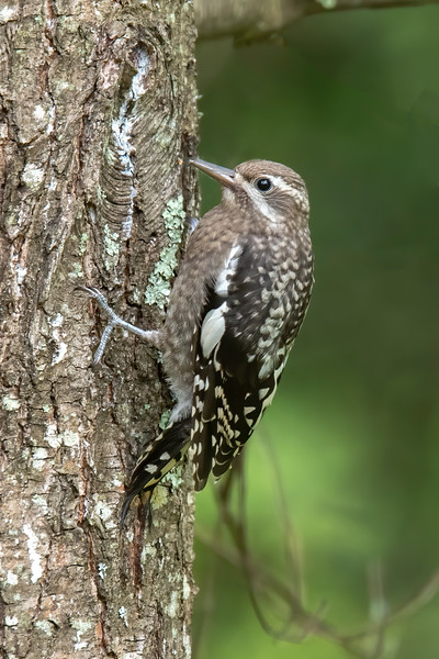 Here's another juvenile Yellow-bellied Sapsucker.  No red feathers are appearing, so this is a young female.