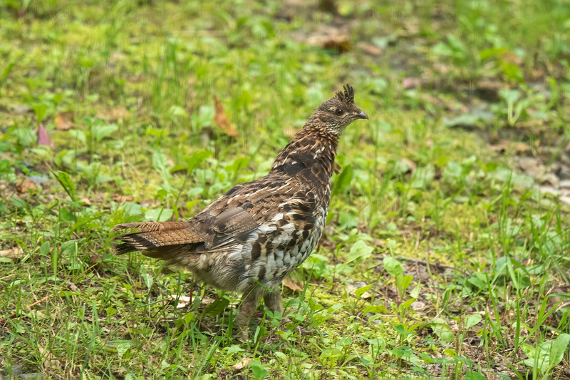 The woods around our home are great habitat for Ruffed Grouse and, occasionally, one will wander into our yard.