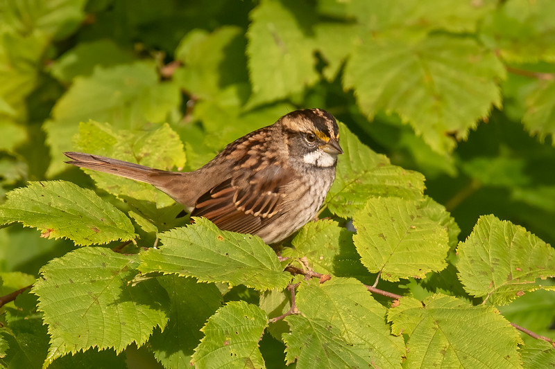 White-throated Sparrows did nest in our yard because we heard them calling all summer.