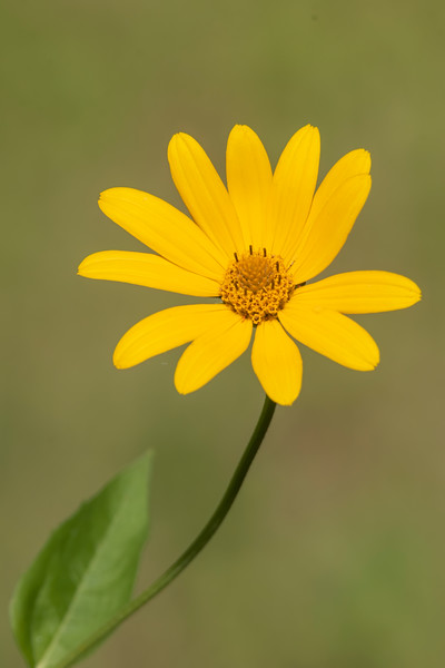 This is one of the many members of the sunflower family.