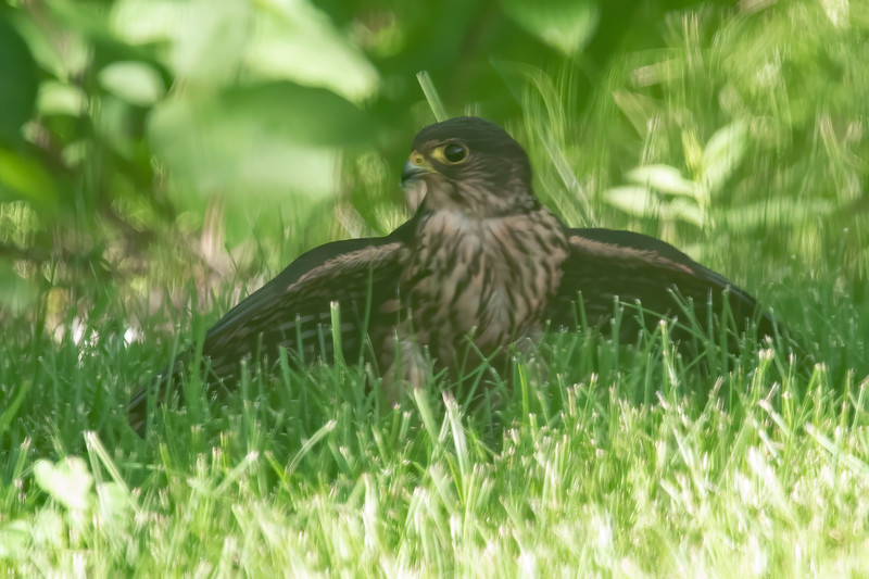 One day this summer, while we were eating lunch, a bird rocketed into our yard and landed under our bird feeders.  I grabbed my camera and took several photos.  When I got the photos down onto my computer, I recognized the bird as a Merlin.
