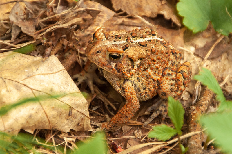 When I looked in our reptile book it was easy to identify this as an American Toad, because that is the only toad species found in our area.
