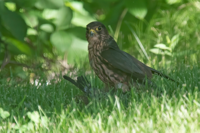 This photo showed me why the Merlin was there.  It caught a bird under the feeders.  I see some blue in the victim's feathers, so it's probably a Blue Jay.  I like Blue Jays, but Merlins need to eat as well.