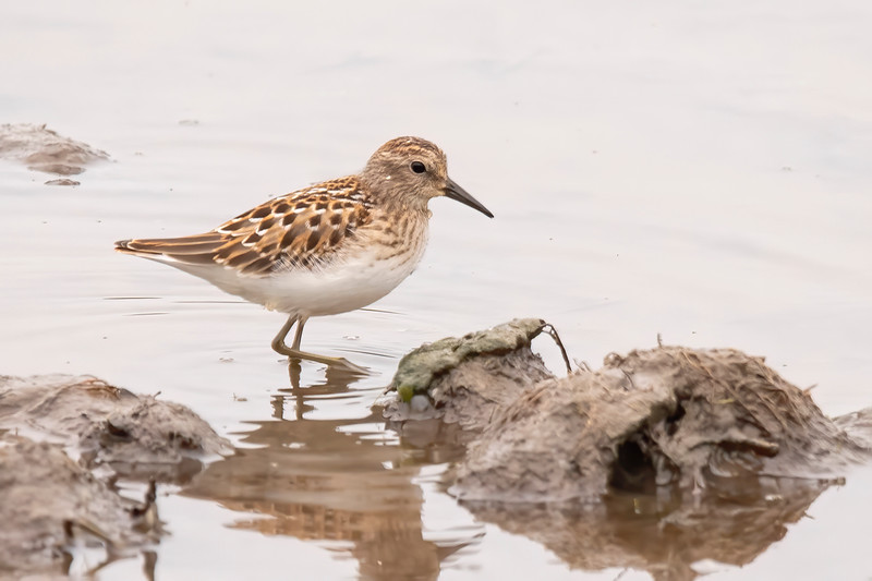 Along Itasca County Road 10, there is a field that sometimes floods from a nearby stream.  When that happens, it can attract shorebirds.  In mid-August, this Baird's Sandpiper was foraging right near the road.