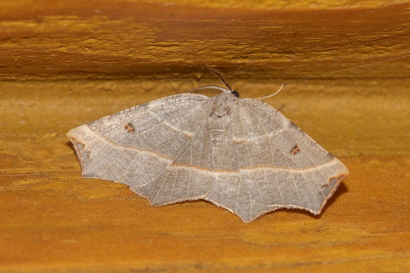 Here's a Pale Metanema Moth.  It has a wingspan of 1 – 1½ inches and is found over most of North America.