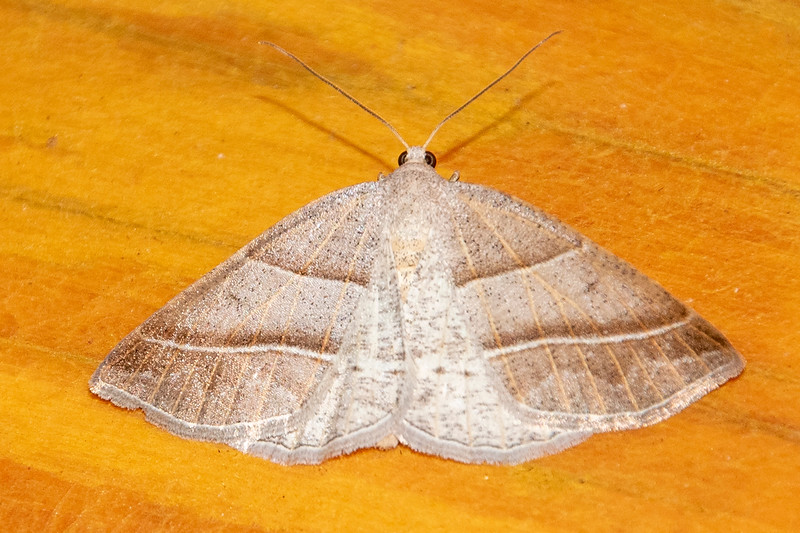 The Northern Petrophora Moth is found in areas surrounding the Great Lakes in the United States and Canada, extending to the Atlantic Ocean.  It's a small moth, with a wingspan of only ¾ inch.  It's caterpillar feeds on ferns.
