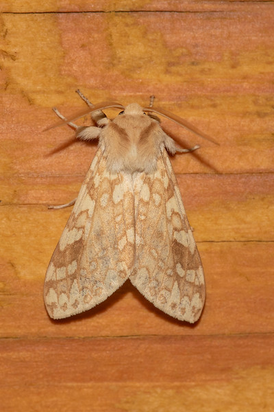 This is a Spotted Tussock Moth.  It has a wingspan of about 1½ inches.  It's found in the northern and eastern United States and up into Canada.