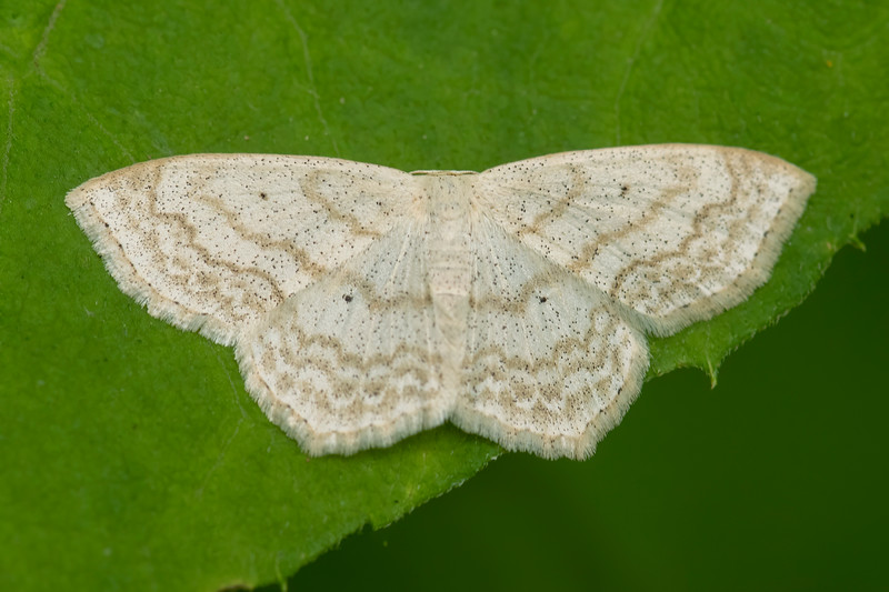Here's a Soft-lined Wave Moth.  The wavy lines along the edge of the wings look like fancy lace decoration.  It has a wingspan of ¾ to 1 inch.  In North America, it's found east of the Rockies.