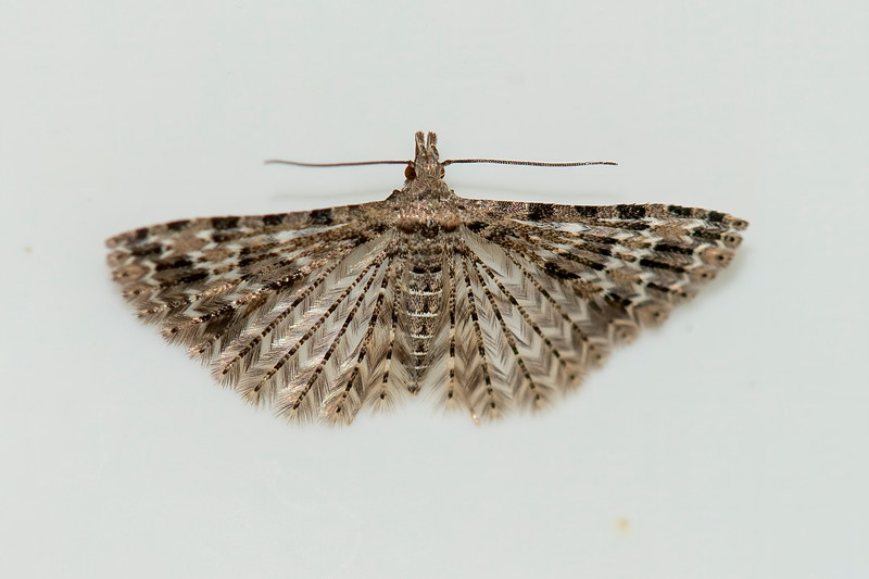 With a wingspan of only ½ inch, this Montana Six-plume is an especially small moth. Each wing does look like it is divided into six plume-like structures giving it the appearance of having feathers.